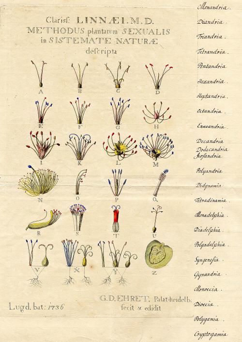 圖3 收錄在林奈《自然系統》(Systema Naturae) 中的插畫,顯示雄蕊與雌蕊的數量與比例如何決定植物的二十四綱。